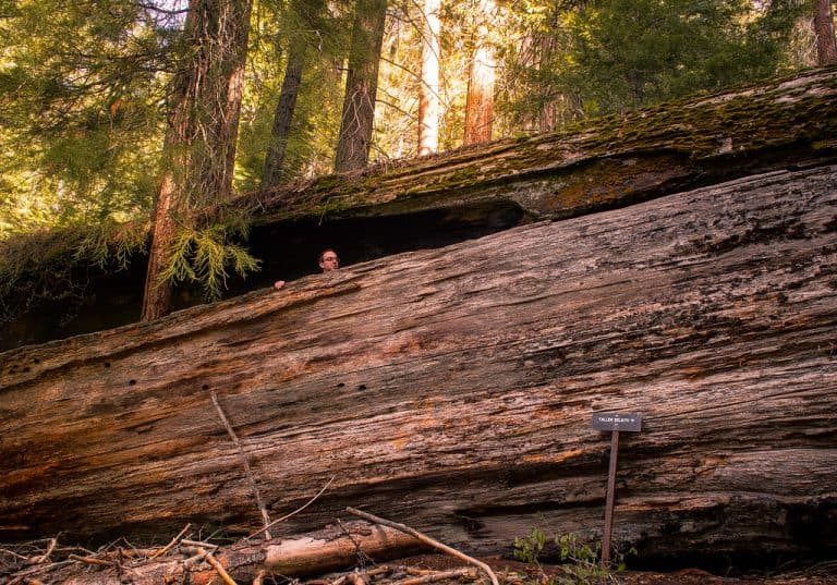 Fallen Goliath in Sequoia