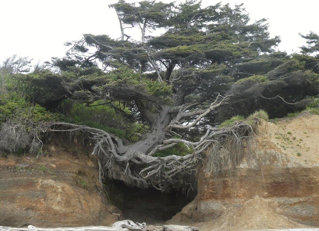 The kalaloch tree cave is a must see on a washington coast road trip