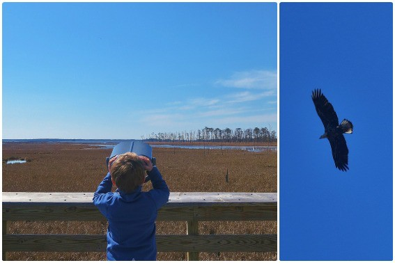 Blakwater National Wildlife Refuge Eastern Shore Maryland Bald Eagle