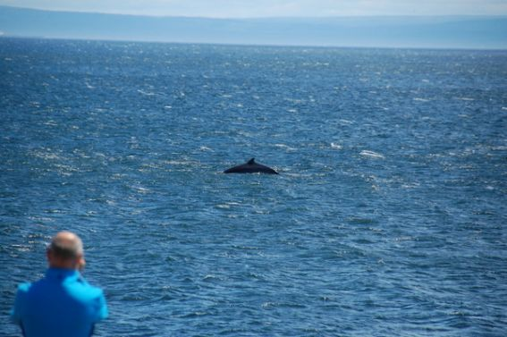 Belugas, Minkes, and more! Whale Watching on Québec 's St. Lawrence River 1