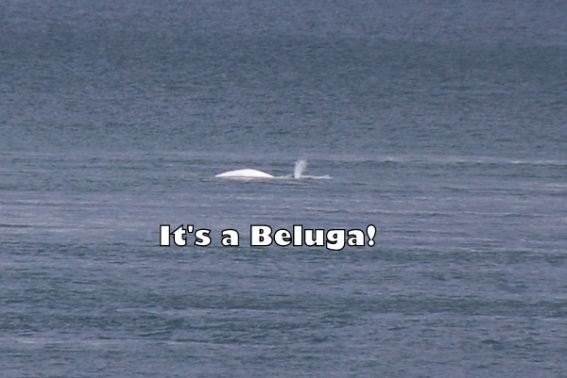 Belugas, Minkes, and more! Whale Watching on Québec 's St. Lawrence River 2
