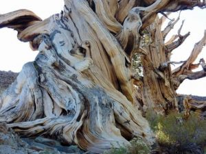 Inyo National Forest Bristlecone Pines