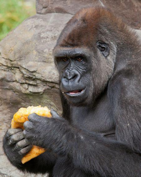 Gorilla and Pumpkin SF Zoo by Marianne Hale