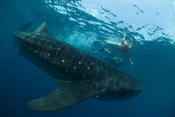 Swim with Whale Sharks by Cancun CVB