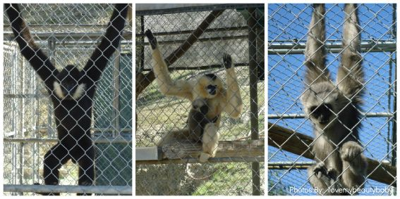 Kid-friendly activity Gibbons Conservation Family Encounters california animals in southern california