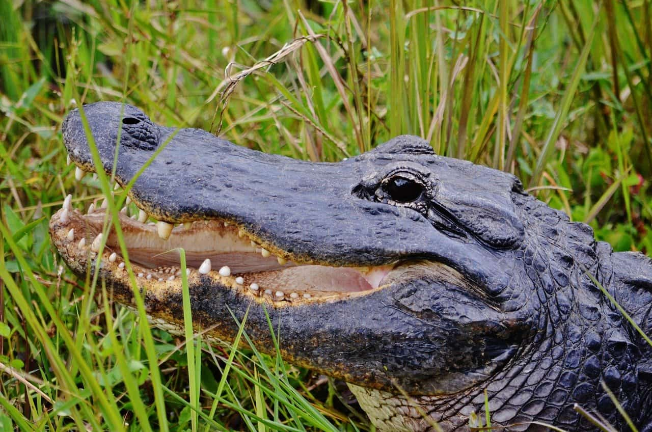 everglades alligator spotting is a fun things to do on a Florida family vacation