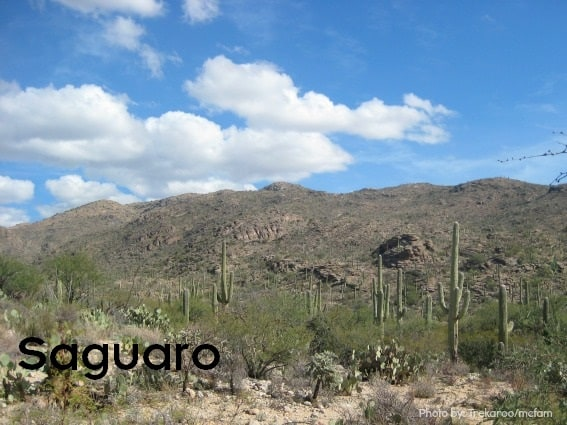Saguaro National Park 567