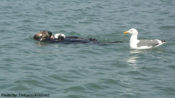 Discover Moss Landing with Kids: Sea Otter  Photo by: Trekaroo/kristined