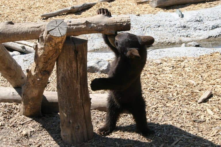 Yellowstone Bear World is one of the fun things to do in Idaho
