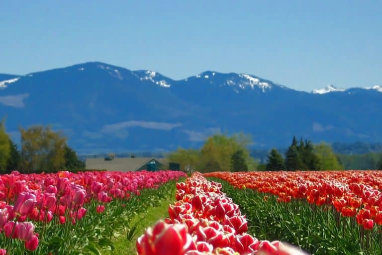 Washington State tulip fields are a great place to visit