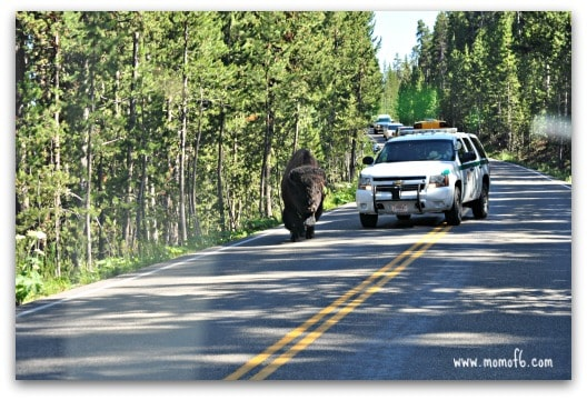 Bison on the road1