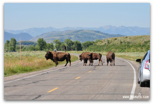 Tracking a herd of bison in Grand Teton National Park