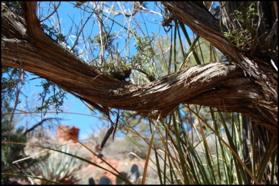 vortex juniper