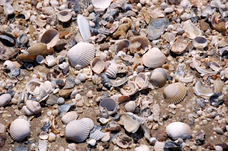 Holly-beach Seashells
