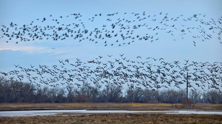 Things to do in Nebraska - Sandhill cranes at Rowe Sanctuary