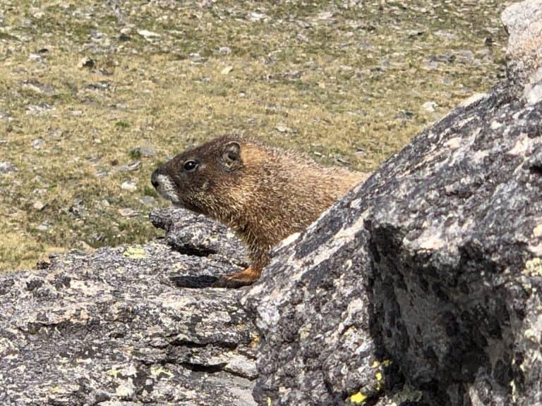 Rocky Mountain National Park Marmot
