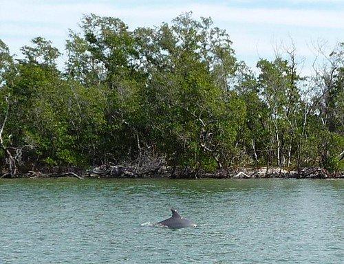 dolphin marco island photo