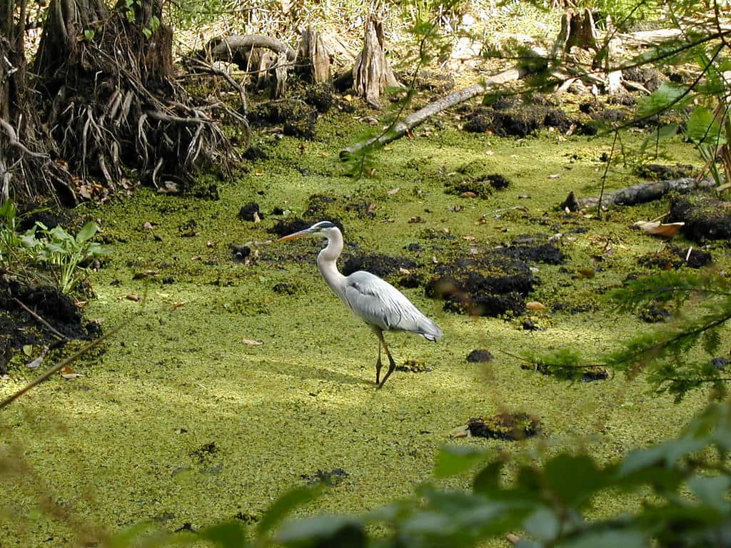 thing to do in Naples florida with kids include visiting corkscrew swamp