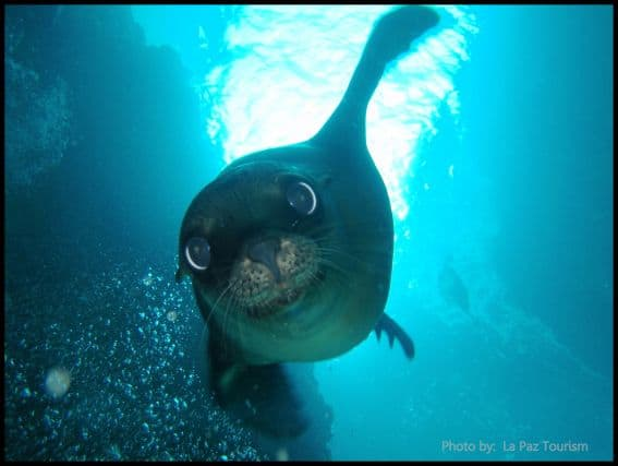 Swim with SeaLions La Paz