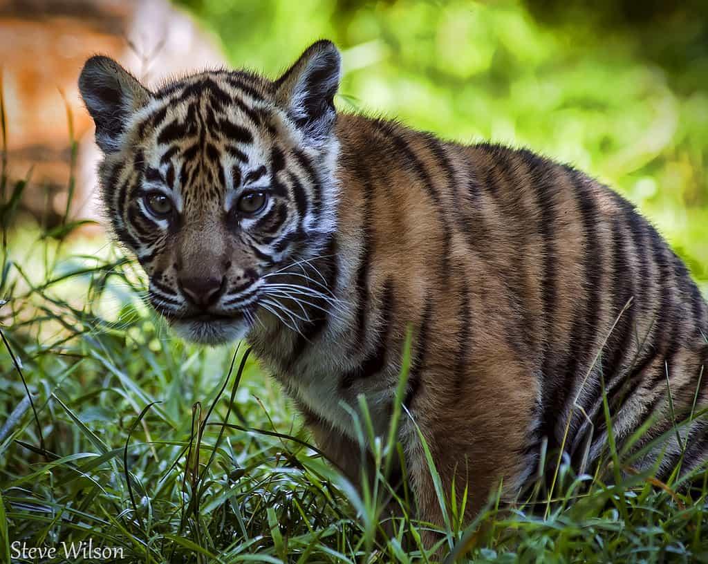 baby tiger photo