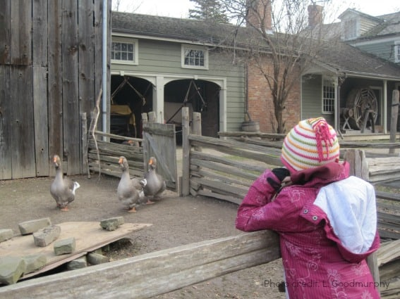 toronto-black creek pioneer village-barnyard animals