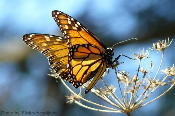 Pismo Butterflies Photo by: flickr/docentjoyce