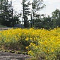 yellow daisy, Georgia