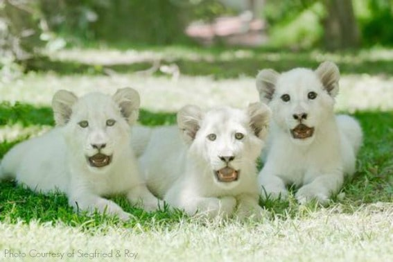 White_Lion_Cubs_The_Mirage_low