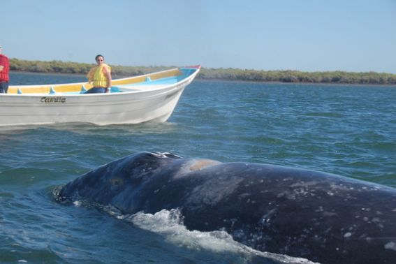 Whale watching Bahia Magdalena