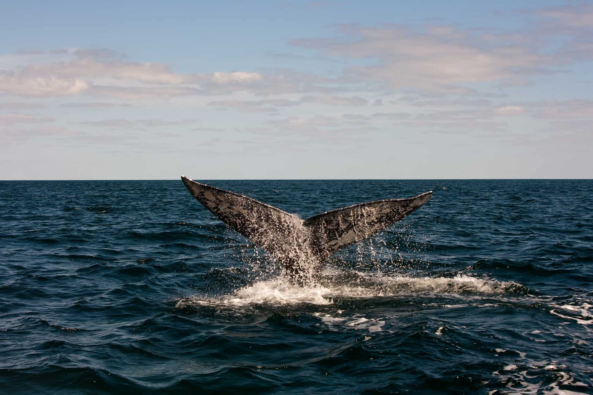 Trekaroo's Guide to West Coast Whale Watching