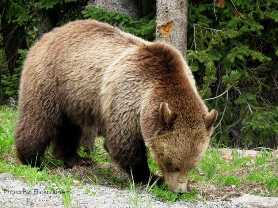 grizzly1