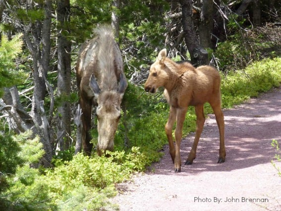 Moose on Swift Current Trail