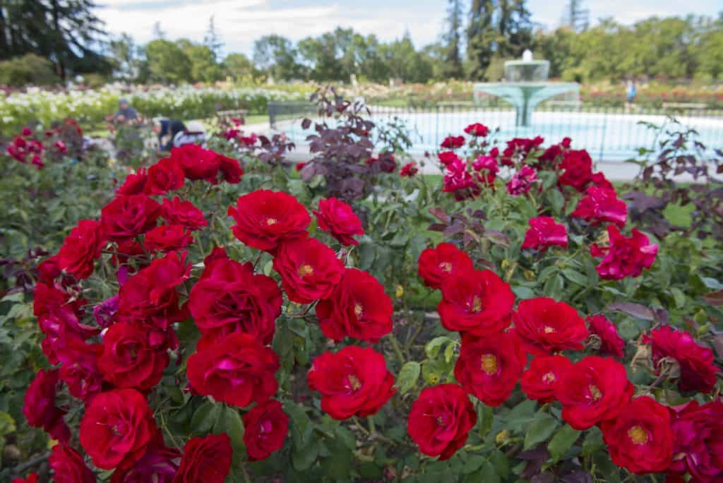 Fun Things to do in San Jose with Kids - The Rose Garden
