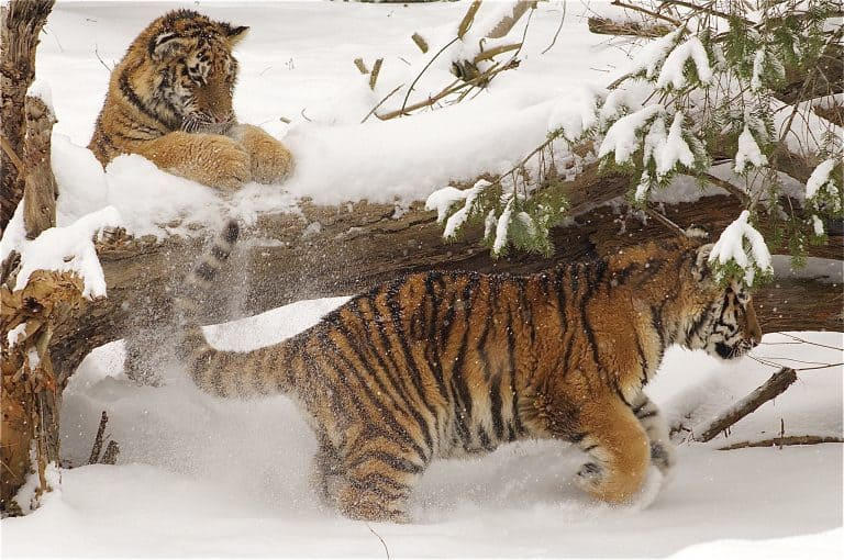 Tigers play in the snow at the Columbus Zoo