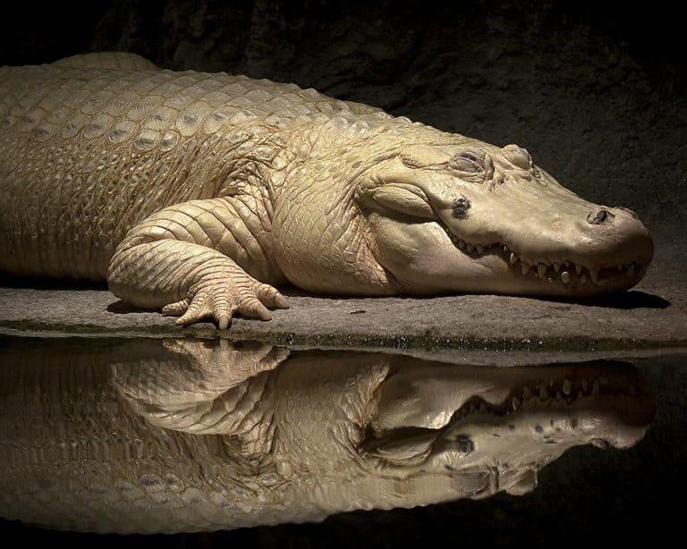 White alligator at the Audobon Zoo