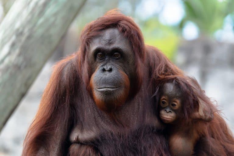 ZooTampa Orangatan