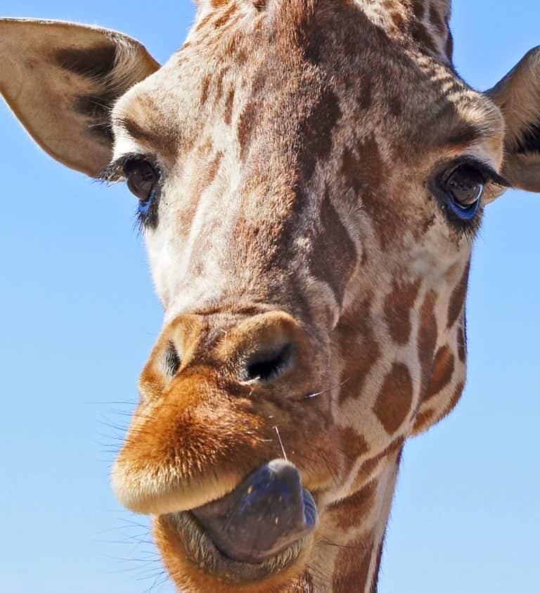 Feeding the Giraffes at the Phoenix Zoo