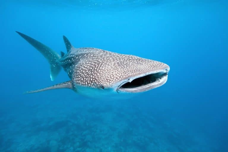 Uncruise Adventures review of the Sea of Cortez cruise Whale shark