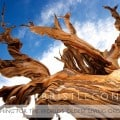 BRISTLECONE PINES- Finding the world's oldest living organism