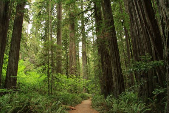 Stout_Memorial_Grove_in_Jedediah_Smith_Redwoods_State_Park_in_2011_(16)