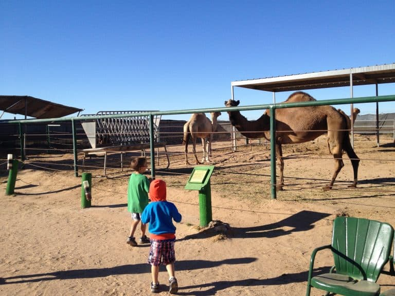 Wild World Zoo Camel Farm in Yuma Az