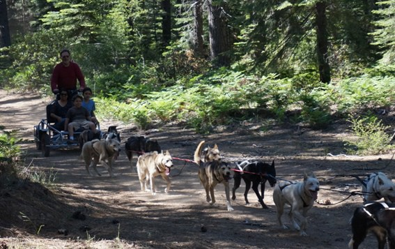 Did you know that you can ride a dogsled in the summer? Outdoor Activities in Redding, CA - From hiking and biking to fishing, houseboating, exploring national and state parks, caves, and so much more, Redding is much more than a gas stop on your route through Northern California #Redding #trekarooing #familytravel