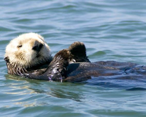 This adorable Sea Otter plays in the Pacific on the coast outside Monterey. See what adventures your family might explore in Monterey County.