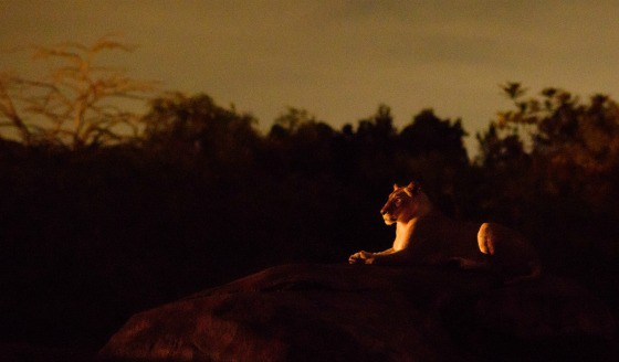 Kilimanjaro Safaris at night in Walt Disney World- now open late for the first time ever!