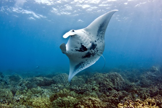 Manta on Reef in Hawaii