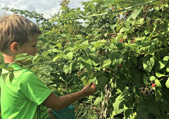 Berry Picking Rochester
