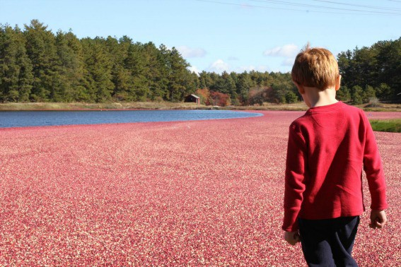 cranberry bog New England fall foliage