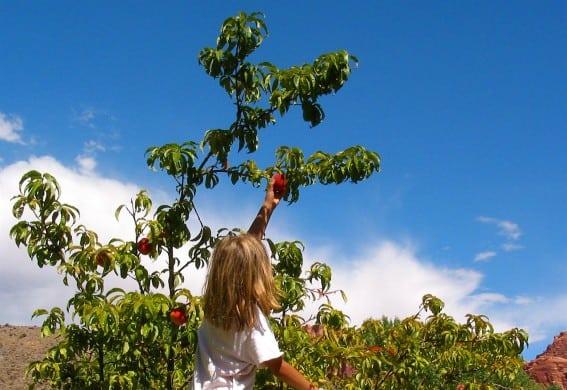 Fruita orchard
