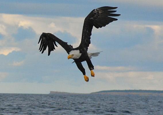 bald-eagle-cape-breton
