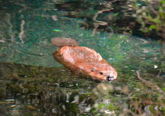 beaver-biodome-montreal